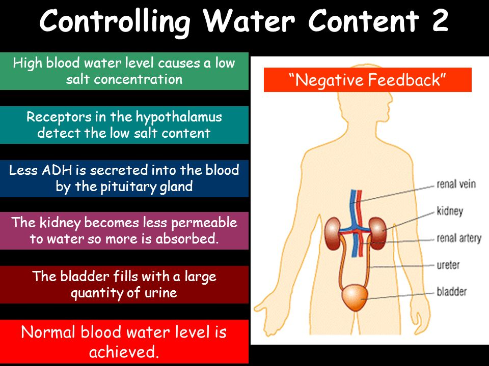 Controlling Water Content 2 High blood water level causes a low salt concentration Receptors in the hypothalamus detect the low salt content Less ADH