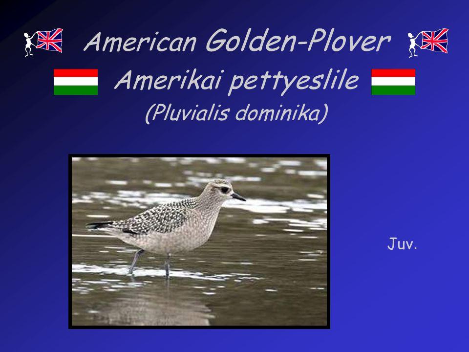 American Golden-Plover Amerikai pettyeslile (Pluvialis dominika) Juv.