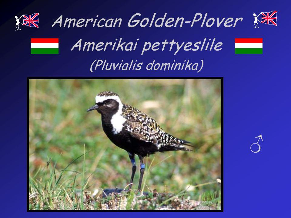 American Golden-Plover Amerikai pettyeslile (Pluvialis dominika)