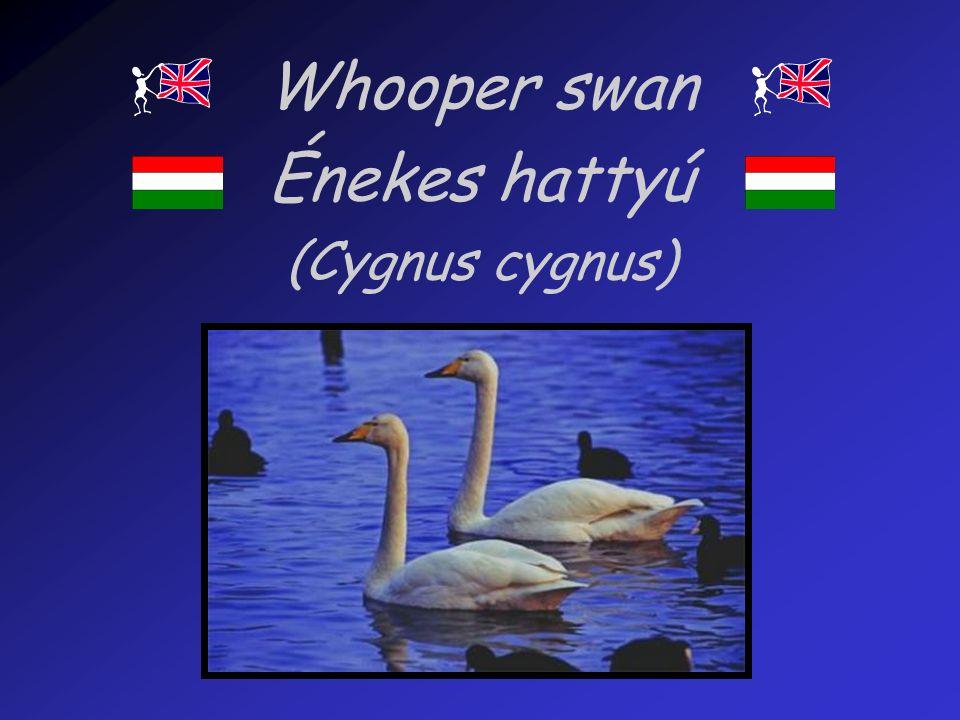 Whooper swan Énekes hattyú (Cygnus cygnus)