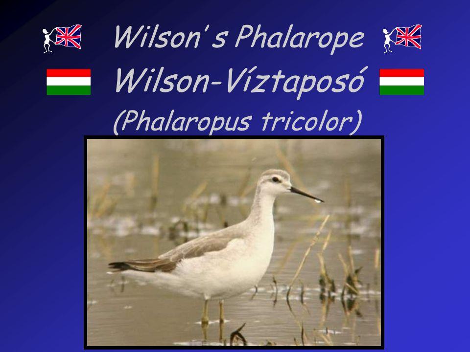Wilson s Phalarope Wilson-Víztaposó (Phalaropus tricolor)