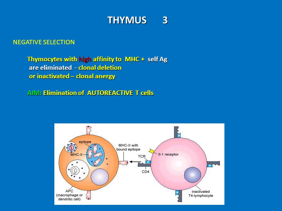 THYMUS 3 NEGATIVE SELECTION Thymocytes with high affinity to MHC + self Ag Thymocytes with high affinity to MHC + self Ag are eliminated - clonal dele
