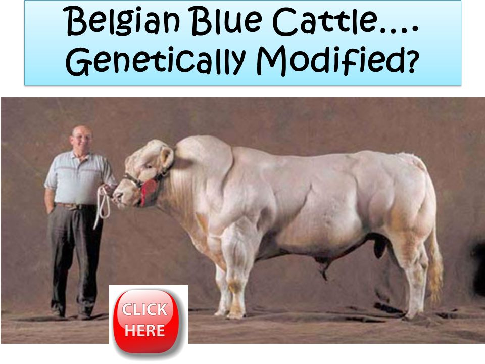 Belgian Blue Cattle…. Genetically Modified