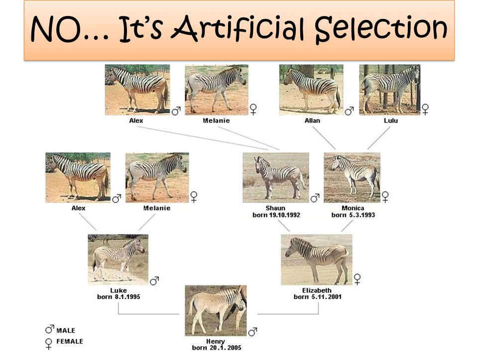 NO… Its Artificial Selection