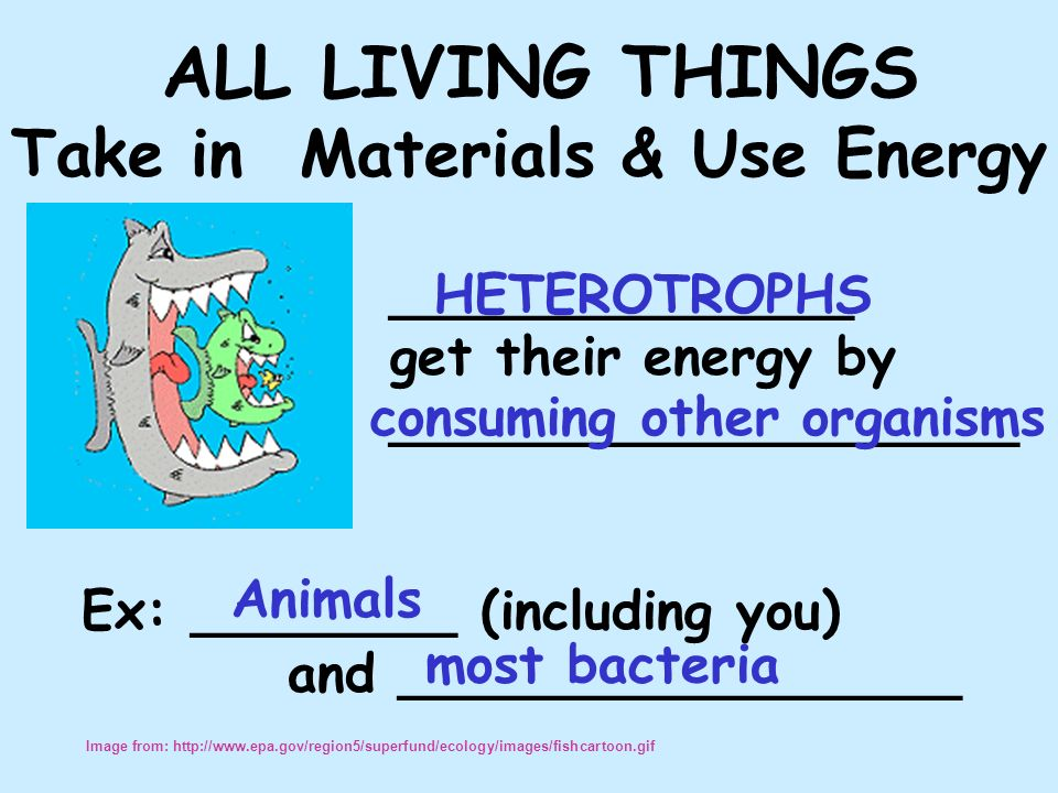 ALL LIVING THINGS Take in Materials & Use Energy ______________ get their energy by ___________________ Ex: ________ (including you) and _________________ HETEROTROPHS Image from: http://www.epa.gov/region5/superfund/ecology/images/fishcartoon.gif consuming other organisms Animals most bacteria