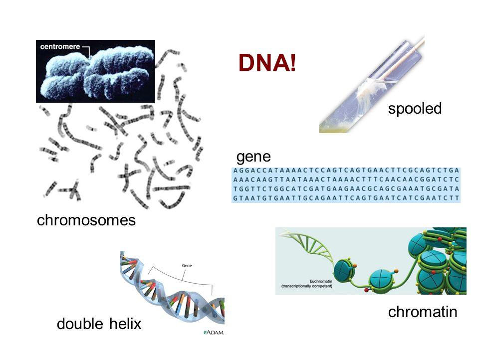 DNA! spooled chromosomes chromatin double helix gene