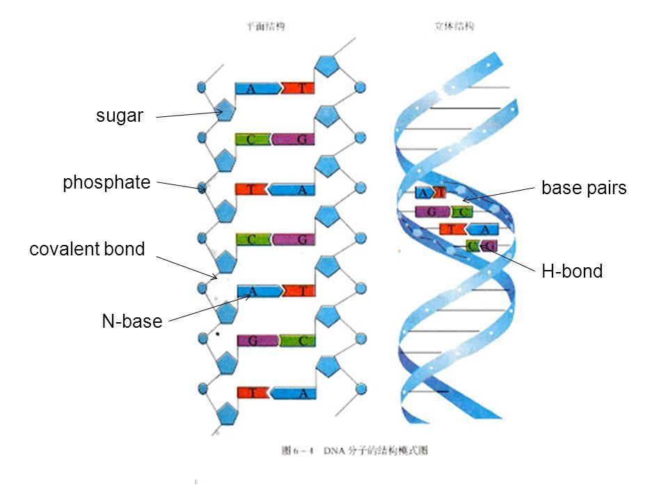 sugar phosphate N-base covalent bond H-bond base pairs