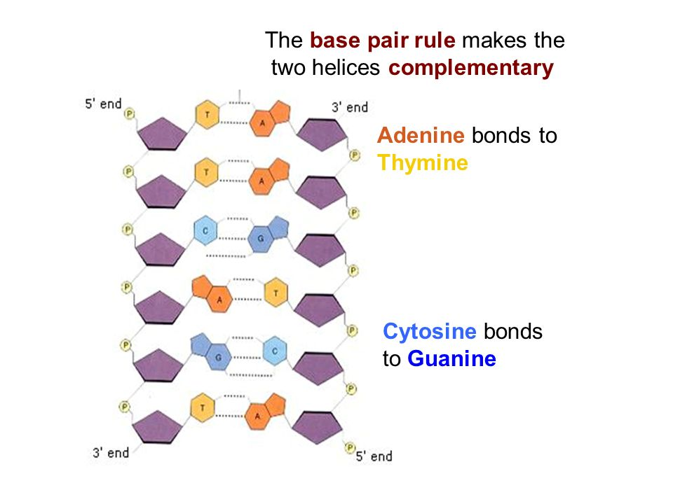 The base pair rule makes the two helices complementary Adenine bonds to Thymine Cytosine bonds to Guanine