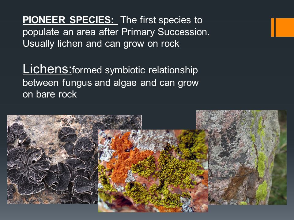 PIONEER SPECIES: The first species to populate an area after Primary Succession. Usually lichen and can grow on rock Lichens: formed symbiotic relatio