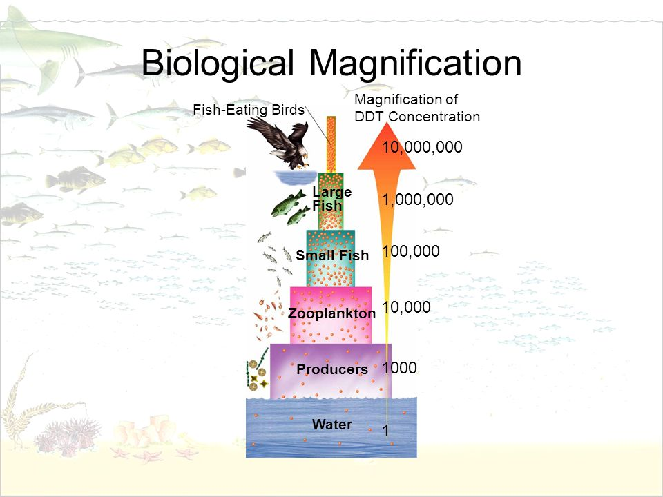 Biological Magnification Fish-Eating Birds Magnification of DDT Concentration 10,000,000 100,000 10,000 1,000,000 1 1000 Large Fish Small Fish Zooplan