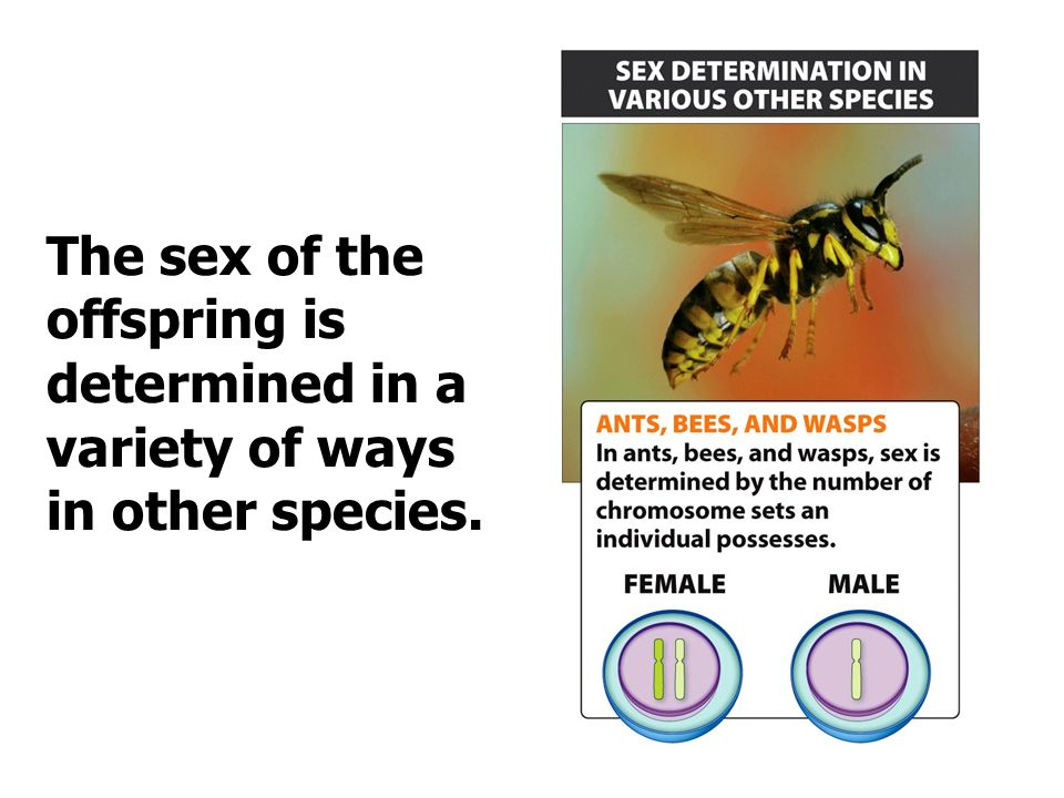 The sex of the offspring is determined in a variety of ways in other species.
