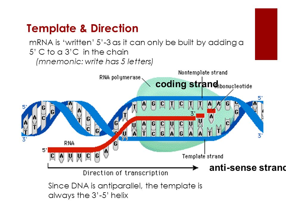 Template & Direction Since DNA is antiparallel, the template is always the 3-5 helix mRNA is written 5-3 as it can only be built by adding a 5 C to a
