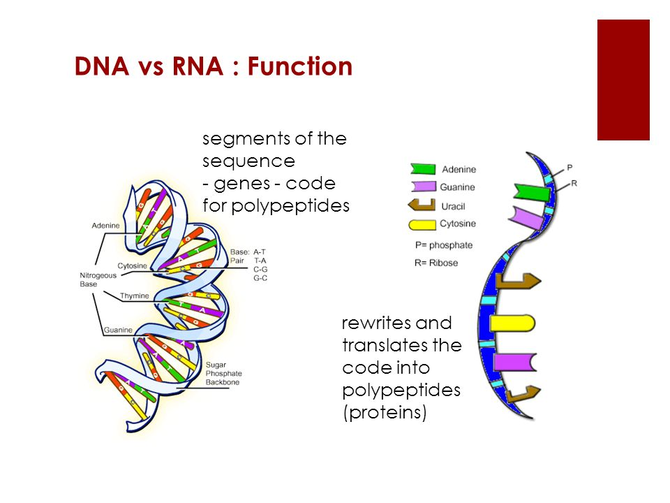 segments of the sequence - genes - code for polypeptides rewrites and translates the code into polypeptides (proteins) DNA vs RNA : Function