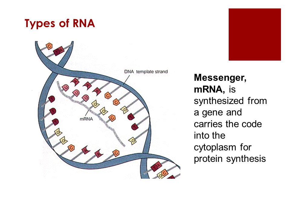 Types of RNA Messenger, mRNA, is synthesized from a gene and carries the code into the cytoplasm for protein synthesis