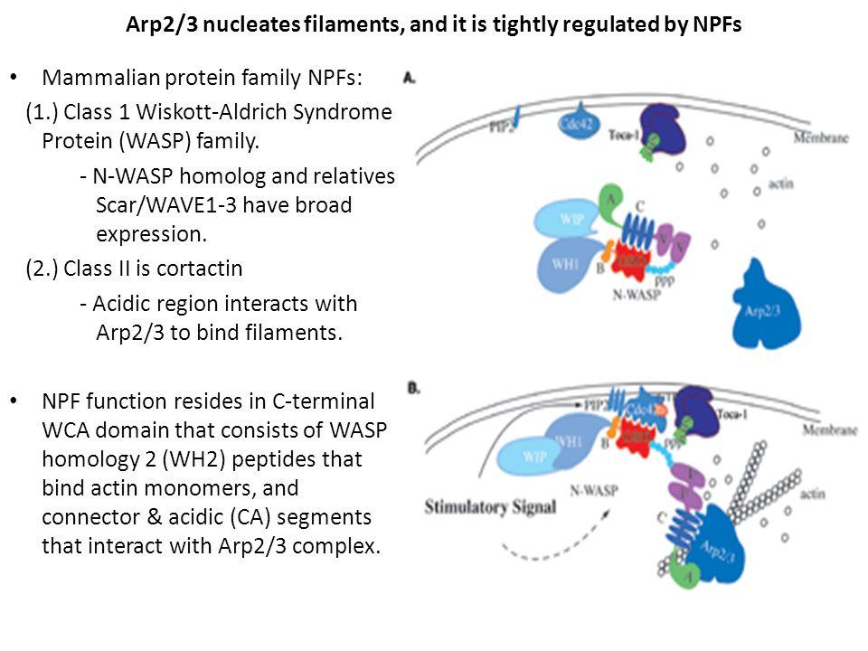 WHAMM localizes to Golgi Membrane, along MTs at MTOC, along tubular MT membranes.