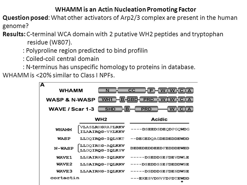 Question: What is WHAMMs function in cells? WHAMM is expressed in mammalian tissue.