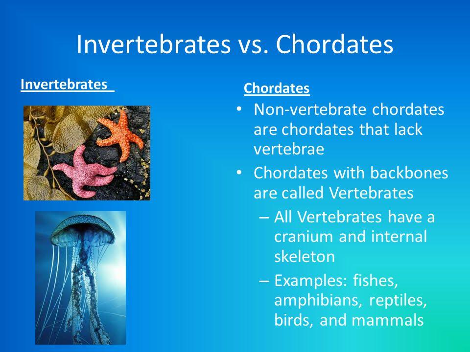 Invertebrates vs. Chordates Invertebrates Chordates Non-vertebrate chordates are chordates that lack vertebrae Chordates with backbones are called Ver