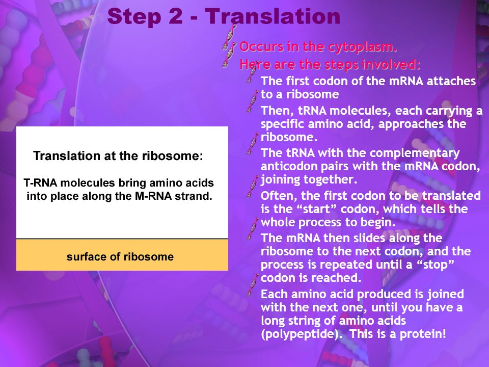 Step 2 - Translation Occurs in the cytoplasm. Here are the steps involved: The first codon of the mRNA attaches to a ribosome Then, tRNA molecules, ea