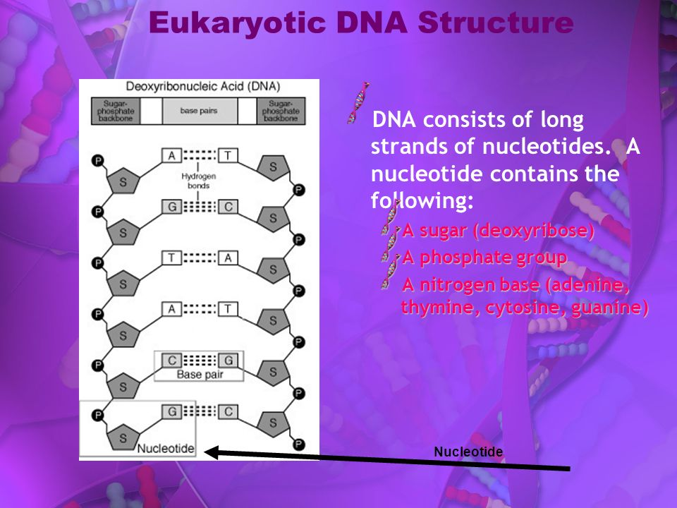 Eukaryotic DNA Structure DNA consists of long strands of nucleotides. A nucleotide contains the following: A sugar (deoxyribose) A phosphate group A n