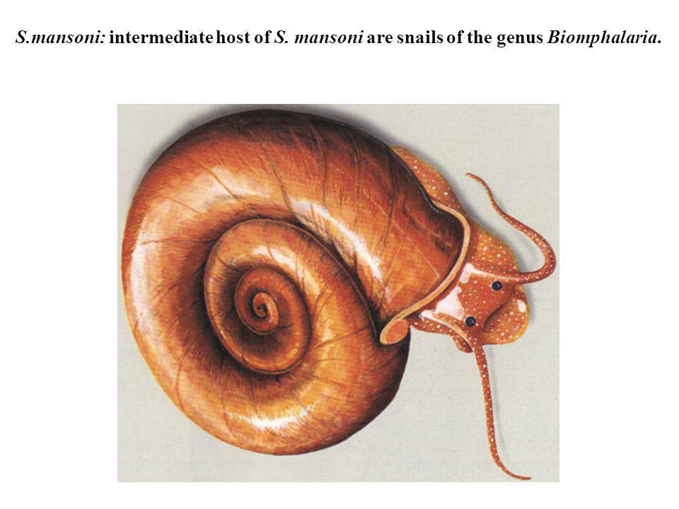 S.mansoni: intermediate host of S. mansoni are snails of the genus Biomphalaria.