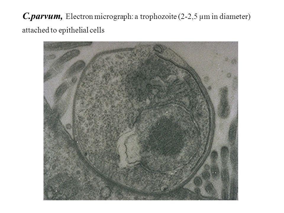 C.parvum, Electron micrograph: a trophozoite (2-2,5 µm in diameter) attached to epithelial cells