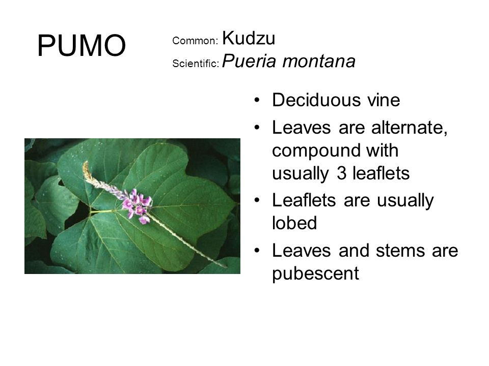 Common: Kudzu Scientific: Pueria montana Deciduous vine Leaves are alternate, compound with usually 3 leaflets Leaflets are usually lobed Leaves and stems are pubescent PUMO
