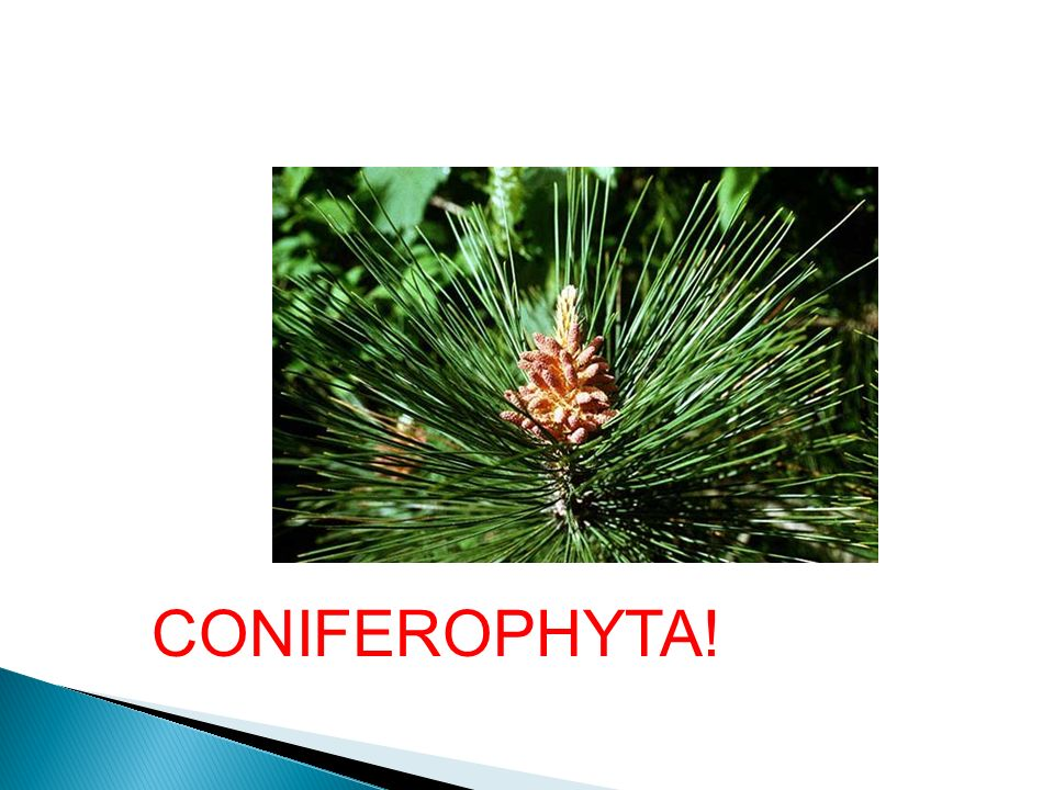 CONIFEROPHYTA!