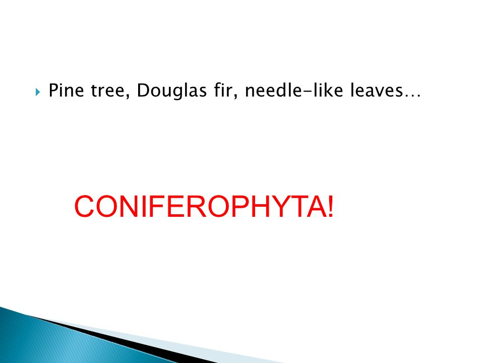 Pine tree, Douglas fir, needle-like leaves… CONIFEROPHYTA!