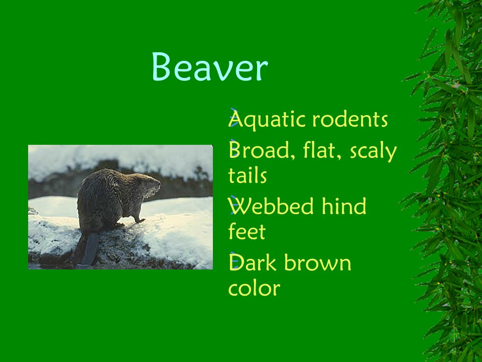 Beaver Aquatic rodents Broad, flat, scaly tails Webbed hind feet Dark brown color
