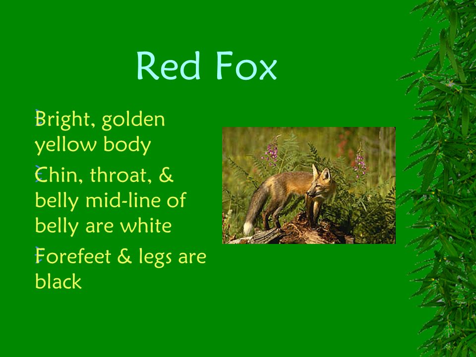 Red Fox Bright, golden yellow body Chin, throat, & belly mid-line of belly are white Forefeet & legs are black