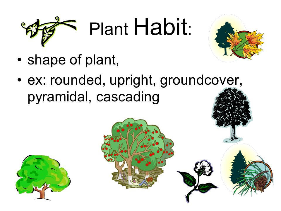 Plant Habit : shape of plant, ex: rounded, upright, groundcover, pyramidal, cascading