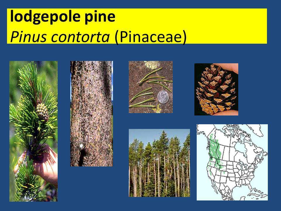 lodgepole pine Pinus contorta (Pinaceae)