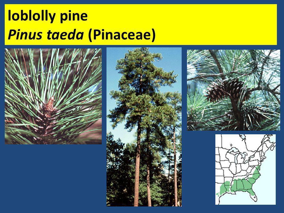 loblolly pine Pinus taeda (Pinaceae)
