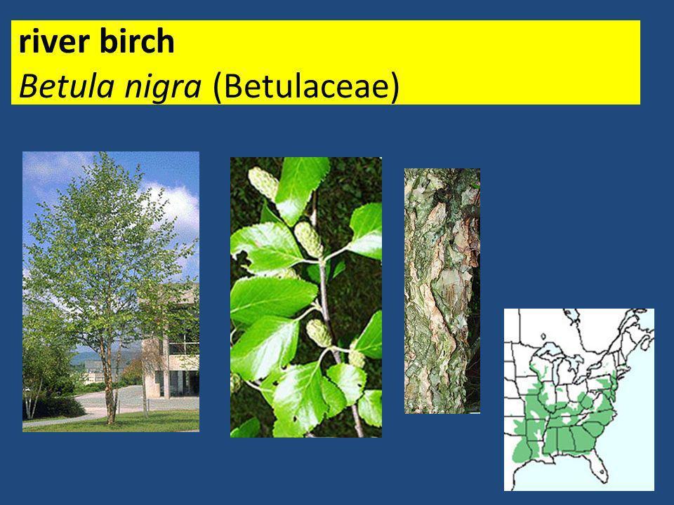 river birch Betula nigra (Betulaceae)