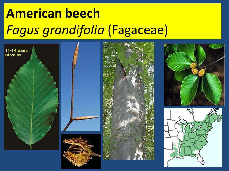 American beech Fagus grandifolia (Fagaceae)