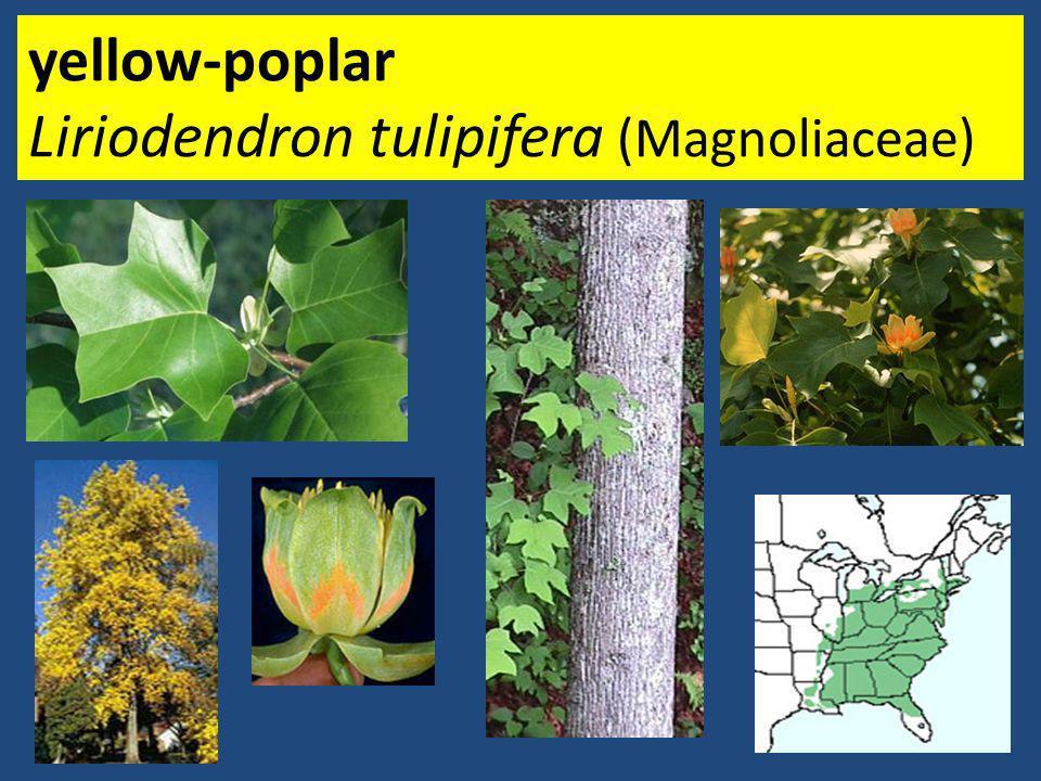 yellow-poplar Liriodendron tulipifera (Magnoliaceae)