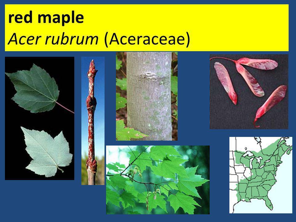 red maple Acer rubrum (Aceraceae)