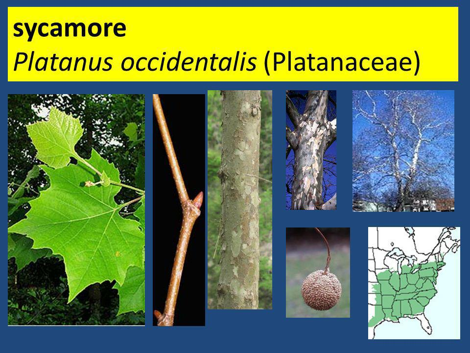 sycamore Platanus occidentalis (Platanaceae)