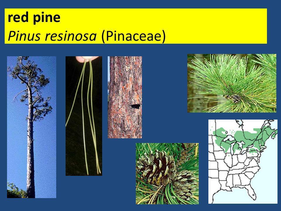 red pine Pinus resinosa (Pinaceae)