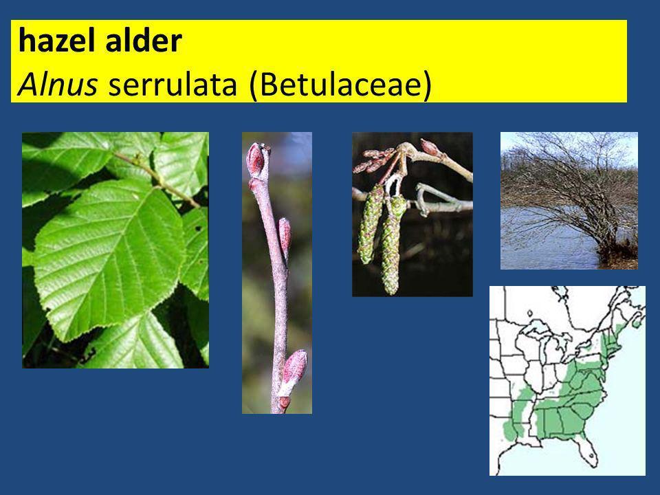 sweetgum Liquidambar styraciflua (Hamamelidaceae)
