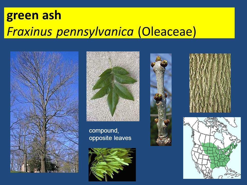 black walnut Juglans nigra (Juglandaceae)