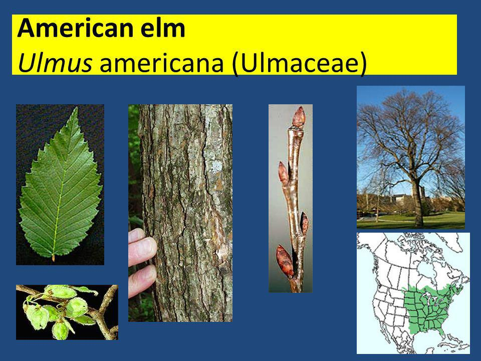 longleaf pine Pinus palustris (Pinaceae)
