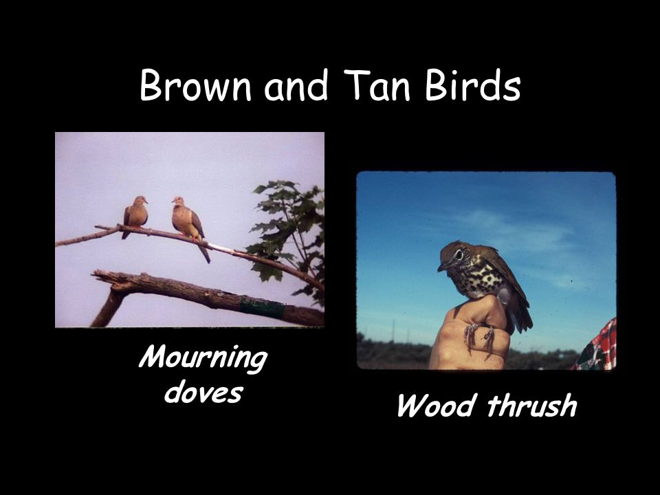 Brown and Tan Birds Mourning doves Wood thrush