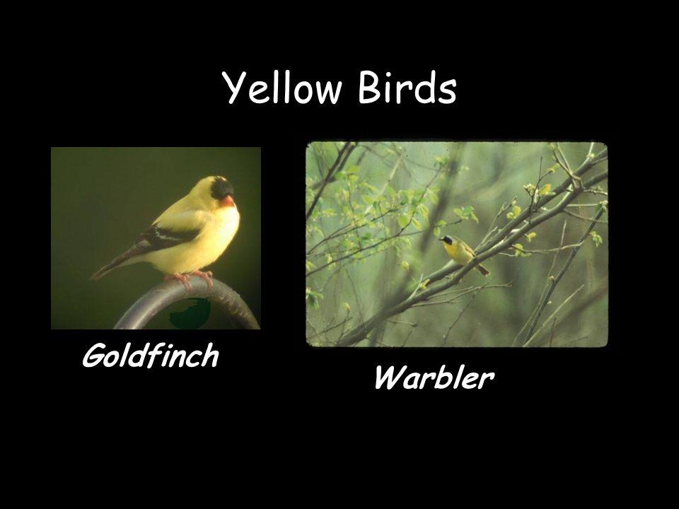 Yellow Birds Goldfinch Warbler