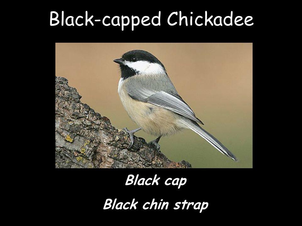 Black-capped Chickadee Black cap Black chin strap