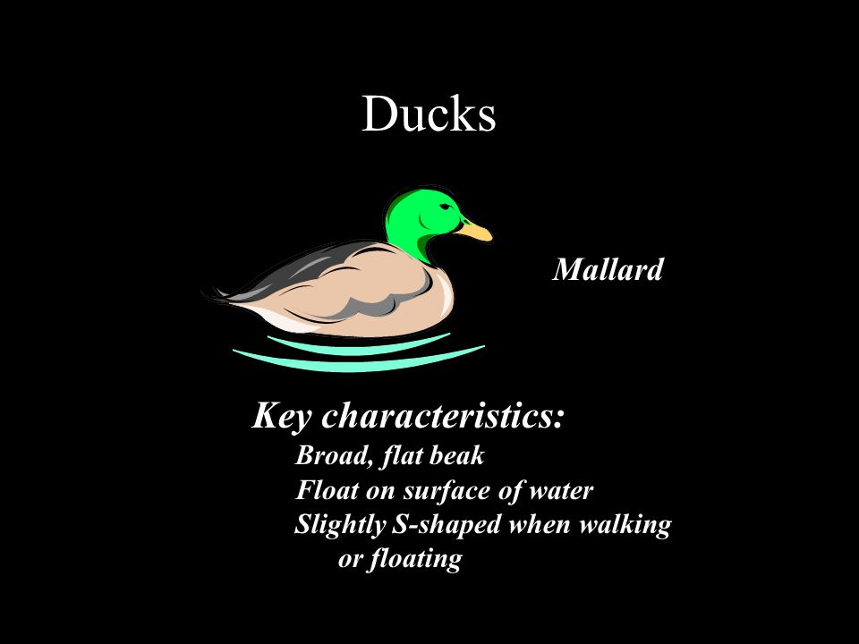 Ducks Key characteristics: Broad, flat beak Float on surface of water Slightly S-shaped when walking or floating Mallard