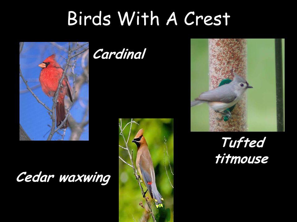 Birds With A Crest Cardinal Cedar waxwing Tufted titmouse
