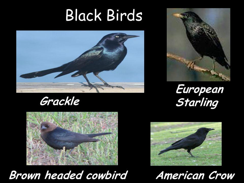 Black Birds Grackle European Starling American CrowBrown headed cowbird