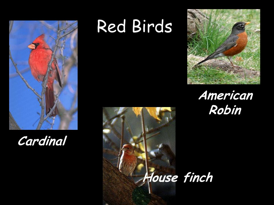 Red Birds Cardinal House finch American Robin