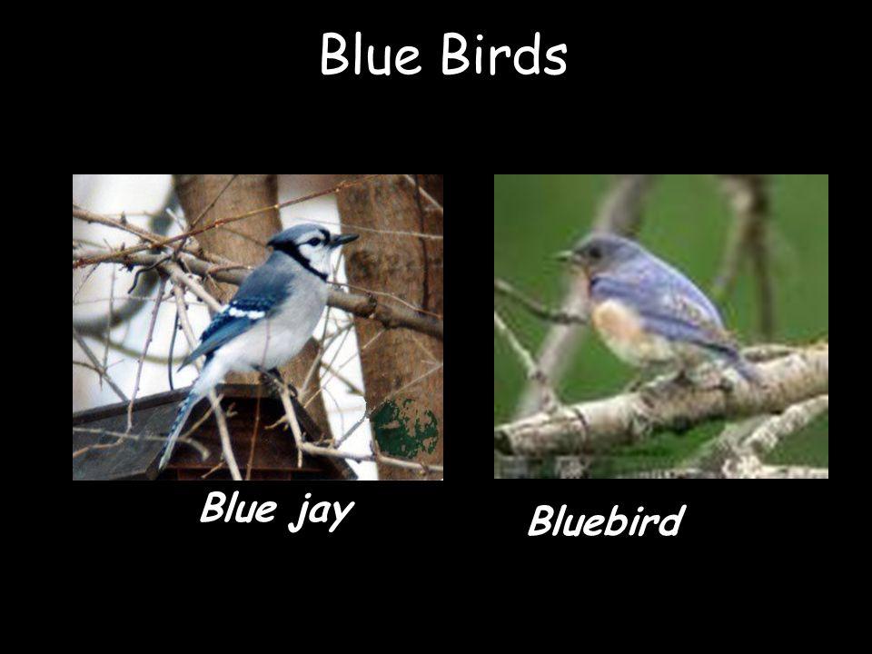 Blue Birds Blue jay Bluebird